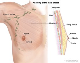 Anatomy of the male breast